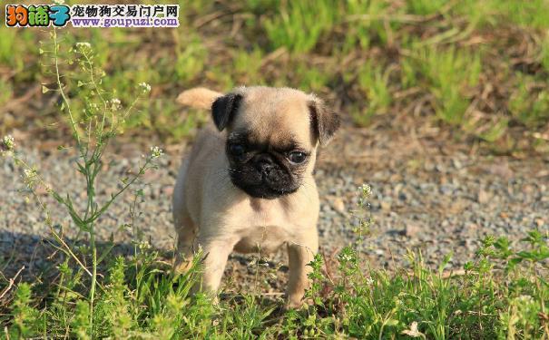 一个月左右的巴哥犬幼犬一天吃几次最好巴哥幼犬喂养