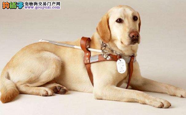 怎么治疗拉布拉多哮喘 拉拉犬患哮喘的原因