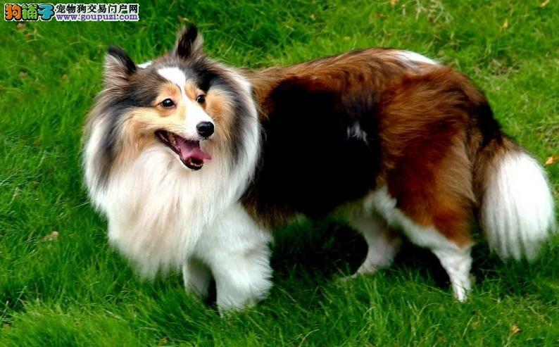 苏格兰牧羊犬拉稀怎么办 治疗苏牧拉肚子的方法