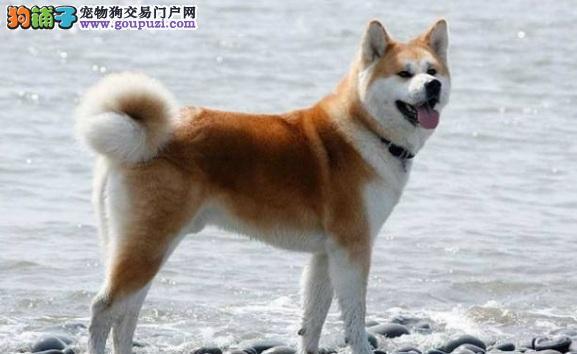 狗狗眼睛干怎么办 如何照顾干眼病的秋田犬