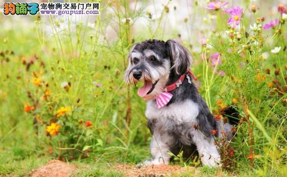 雪纳瑞身体痒怎么办 雪纳瑞犬瘙痒的原因及治疗