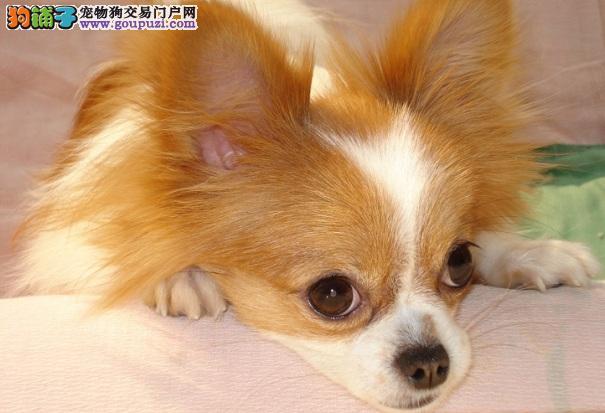 蝴蝶犬为什么呕吐 蝴蝶犬呕吐的原因及治疗