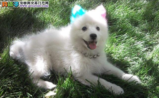 银狐犬肺炎怎么办 养狗注意注射疫苗