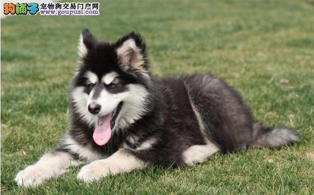 阿拉斯加雪橇犬毛发的护理方法