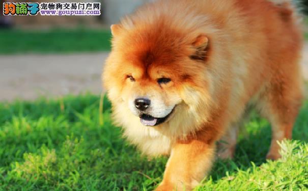 松狮犬为什么咬人 松狮咬人的原因