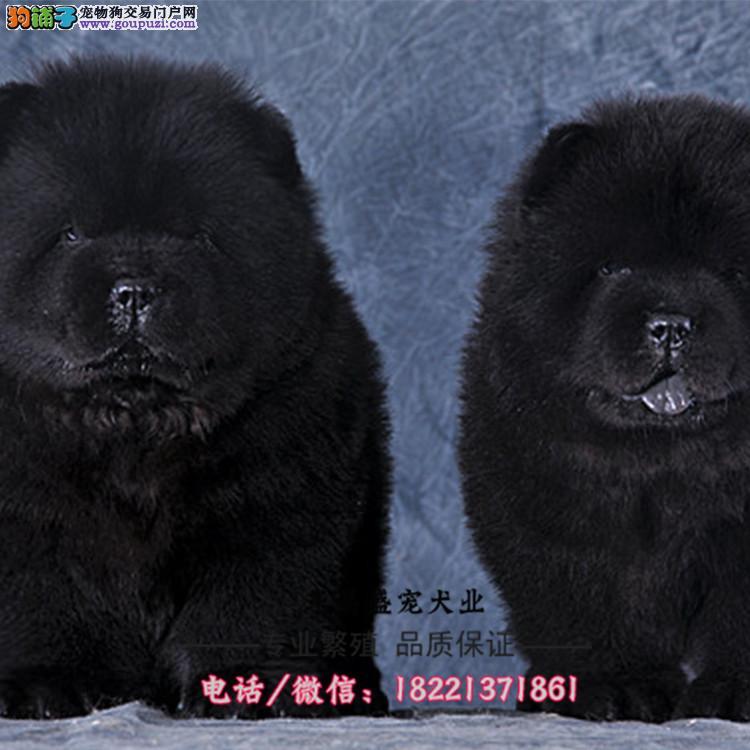 松狮犬幼犬、肉嘴松狮、蓝舌头骨骼大、毛量足小眼睛