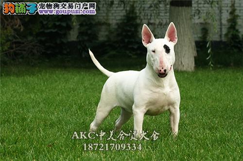 上海最大犬舍牛头梗出售骨量足小全国发货