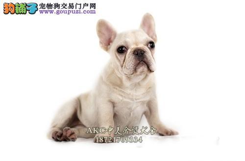 上海法牛顶级赛级狗狗可视频挑选全国发货