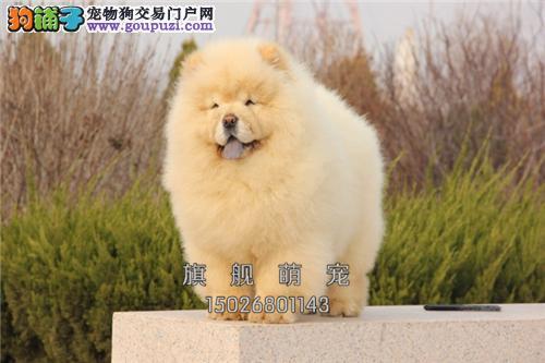 黑龙犬舍松狮纯种紫舌可视频挑选全国发货
