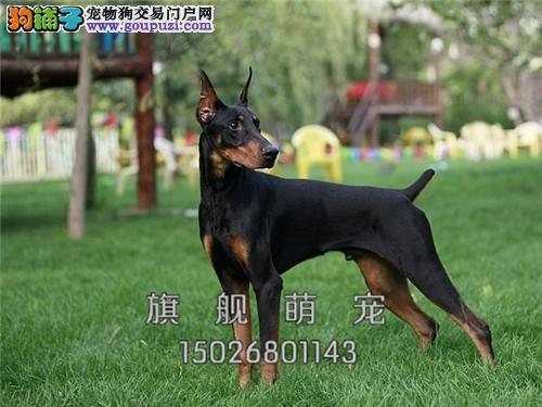 海南家养杜宾自家养灵性犬保健康全国发货