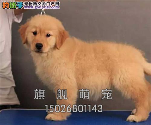 海南出售金毛好养纯种幼犬待售全国发货