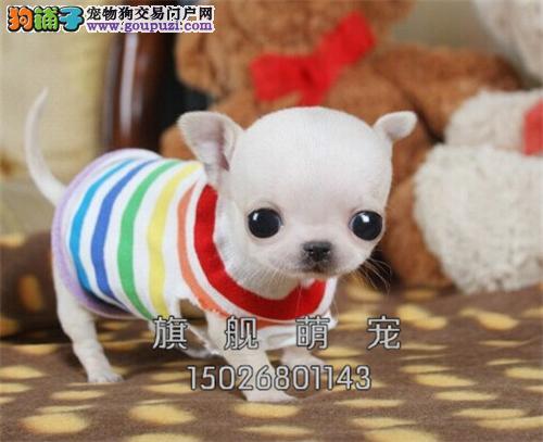 广东哪里有吉娃娃顶级新生小全国发货