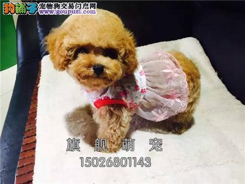 广东犬舍泰迪乖巧袖珍下单有礼全国发货