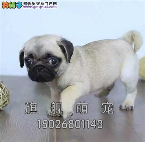 广东巴哥好养三个月狗狗全国发货