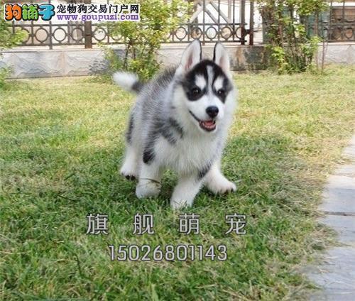 贵州哈士奇乖巧骨量足幼犬待售全国发货