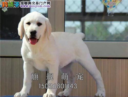 贵州拉布拉多专业繁殖听话小犬全国发货