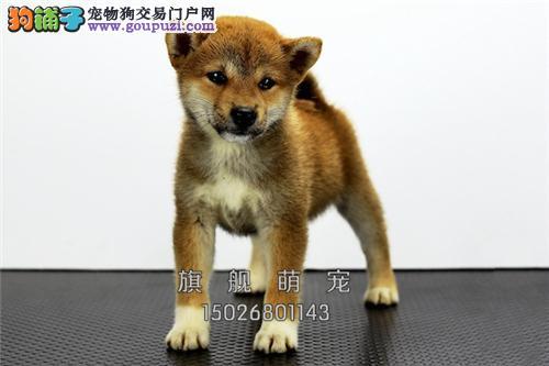 贵州本地出售柴犬精品帅气憨厚全国发货