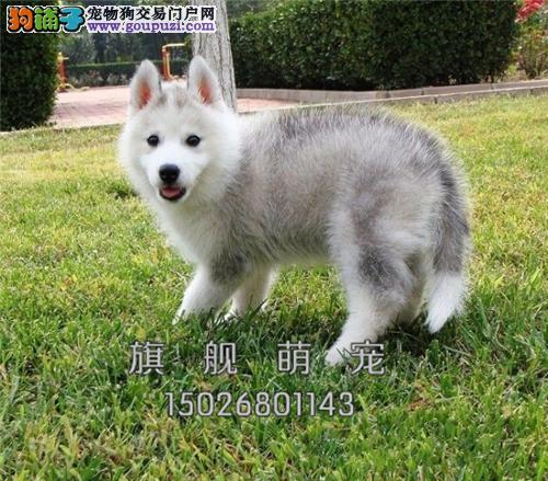内蒙犬舍哈士奇极品顶级狗狗全国发货