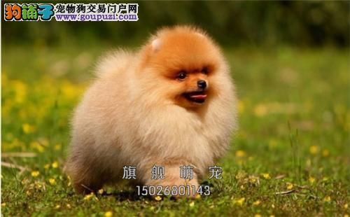 宁夏哪里有博美小狗狗幼犬待售全国发货