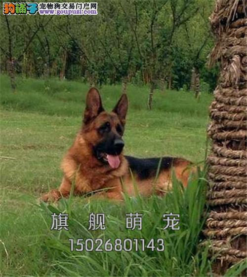 宁夏最大犬舍德牧顶级双血统全国发货