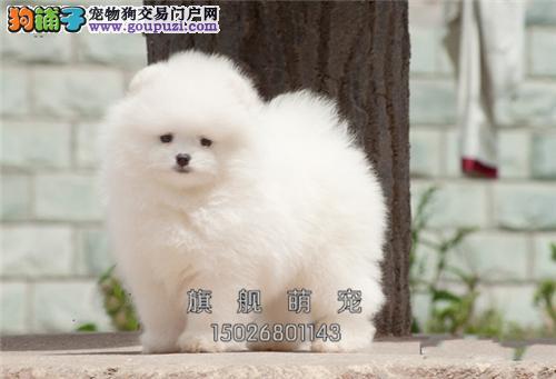 宁夏博美极品三个月幼犬待售全国发货