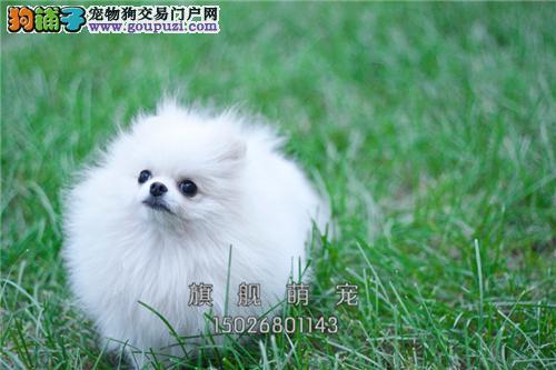 宁夏博美低价出售茶杯犬全国包运全国发货