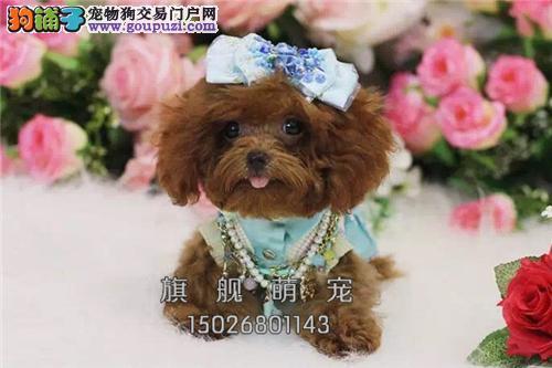 西藏出售泰迪极品健康熊全国发货