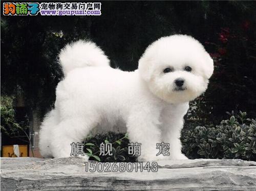 西藏比熊高品相韩系犬带证书全国发货