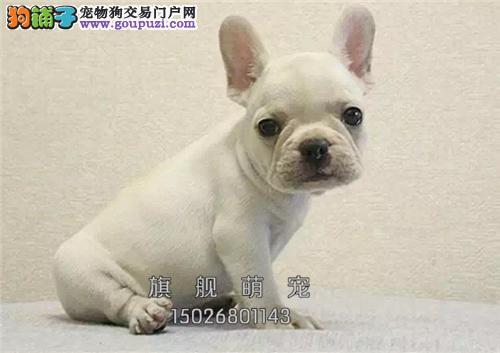 浙江法牛聪明出售小幼犬疫苗已做全国发货