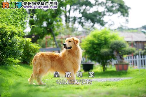 广东金毛新生漂亮大头驱虫已做全国发货