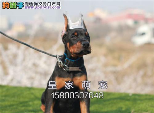 广东犬舍杜宾新生找新家疫苗已做全国发货