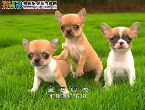 广东出售吉娃娃乖巧三个月带证书全国发货