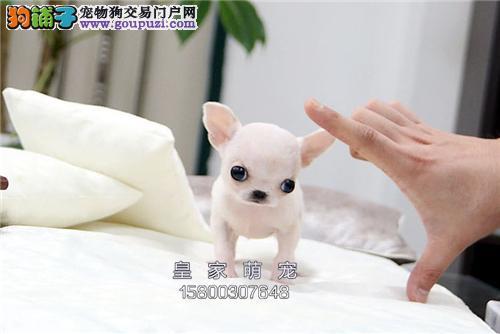 广东出售吉娃娃听话茶杯包纯种全国发货