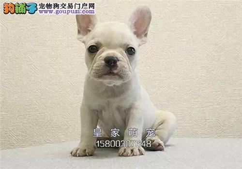 浙江法牛高品相纯种小犬全国发货