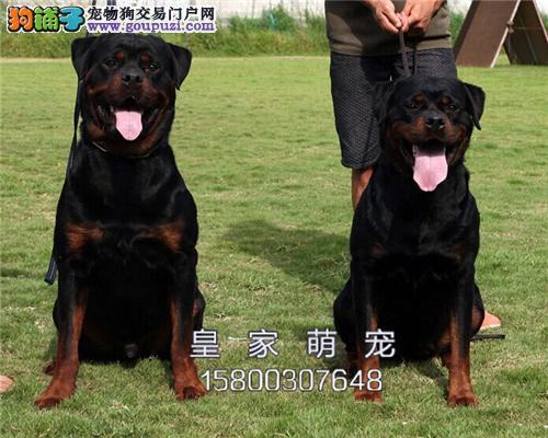 河北出售罗威纳漂亮出售护卫犬全国发货