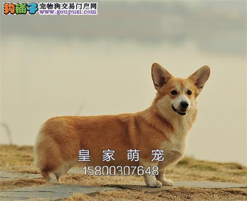 河北家养柯基帅气纯种幼犬待售全国发货
