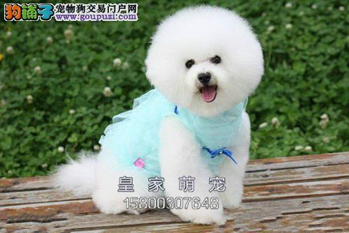 河南比熊高品质好养超萌犬保健康全国发货