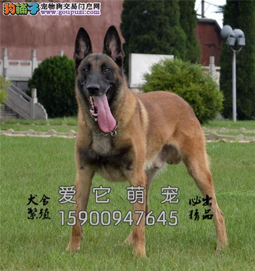贵州家养马犬纯种带证书全国发货