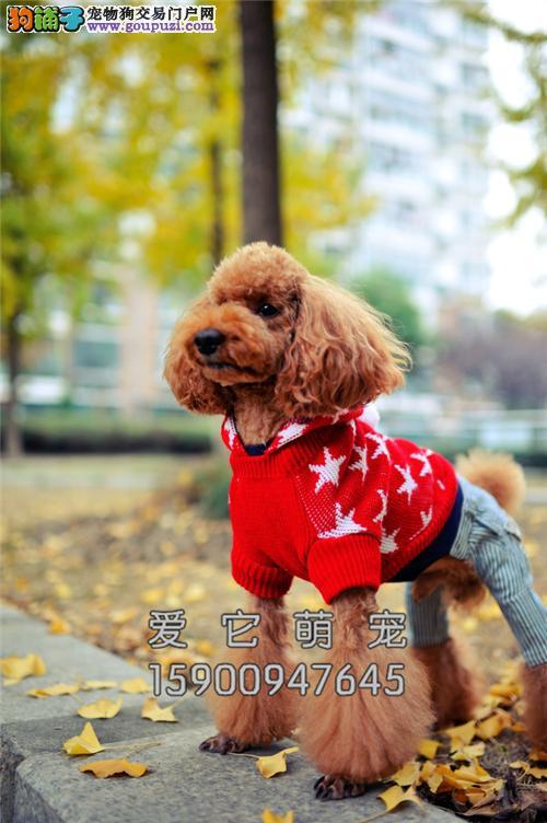 广东犬舍泰迪赛级贵宾上门打折全国发货