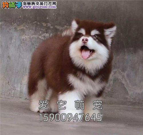 广东阿拉斯加乖巧可爱巨型幼犬全国发货