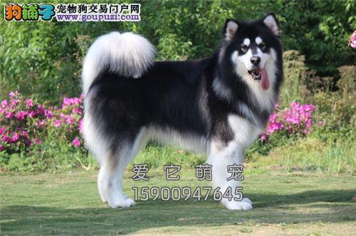 浙江正规犬舍阿拉斯加赛级三个月全国发货