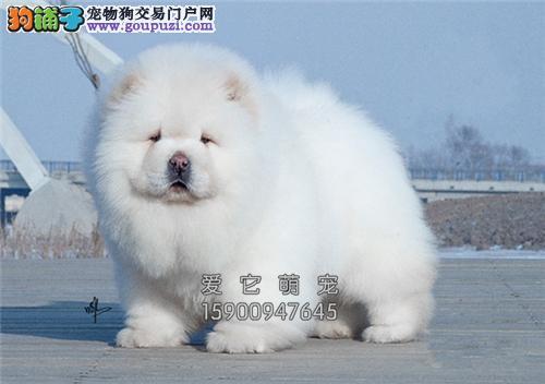 陕西家养松狮高品相听话胖胖幼犬全国发货