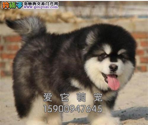 吉林家养高加索顶级赛级三个月犬全国发货