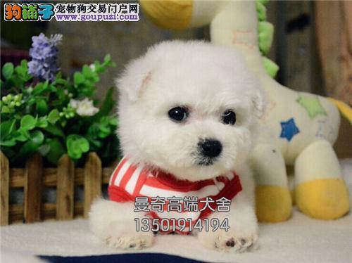 广东出售比熊活泼可爱小犬双血统全国发货