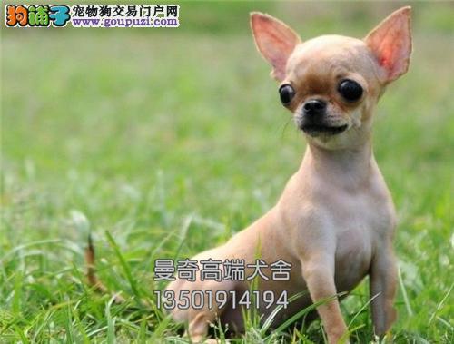 广东出售吉娃娃出售茶杯驱虫已做全国发货