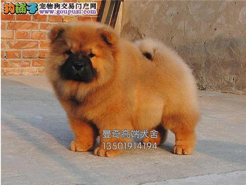 广东正规犬舍松狮高品质肉嘴全国发货