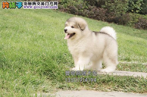广东犬舍阿拉斯加赛级专业繁殖小全国发货