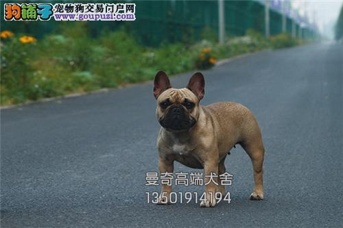 安徽专业繁殖法牛极品出售幼犬全国发货