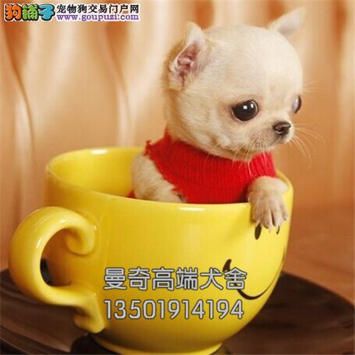 云南吉娃娃纯种茶杯驱虫已做全国发货