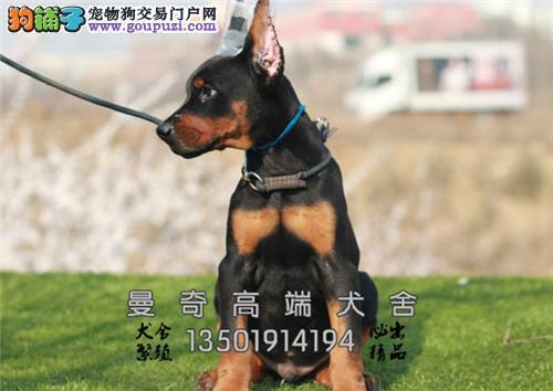 福建家养杜宾漂亮自家养威猛犬全国发货